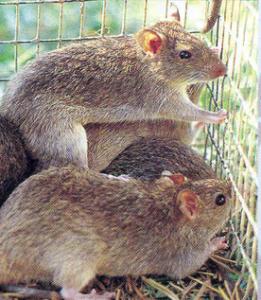 Hama Tikus mengkhawatirkan petani padi